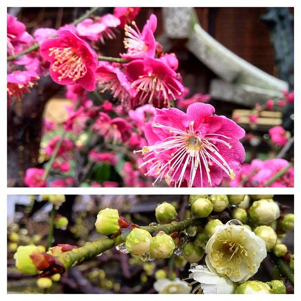 Il a plus ce matin sur les pruniers en fleurs du Osaka Tenmangu !