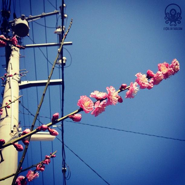 Les fleurs de pruniers en éclosion ( ´ ▽ ` )ノ