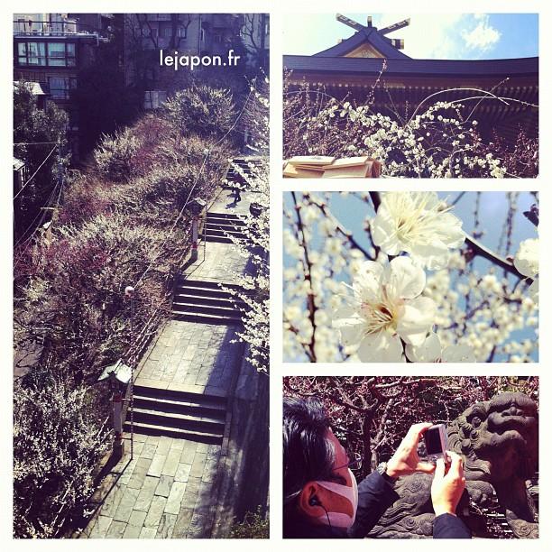 La floraison des pruniers commence à peine à Tokyo… 1 bonne semaine de retard donc !