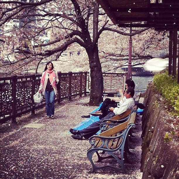 On a mangé du pétale de cerisier ce midi au bord de la Sumidagawa (ça tombe non-stop dans le Bento) ;)