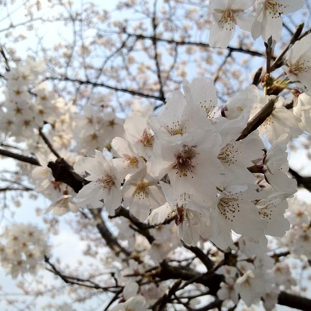 Aujourd'hui c'est «mankai» à Osaka. Comprenez la pleine éclosion des cerisiers