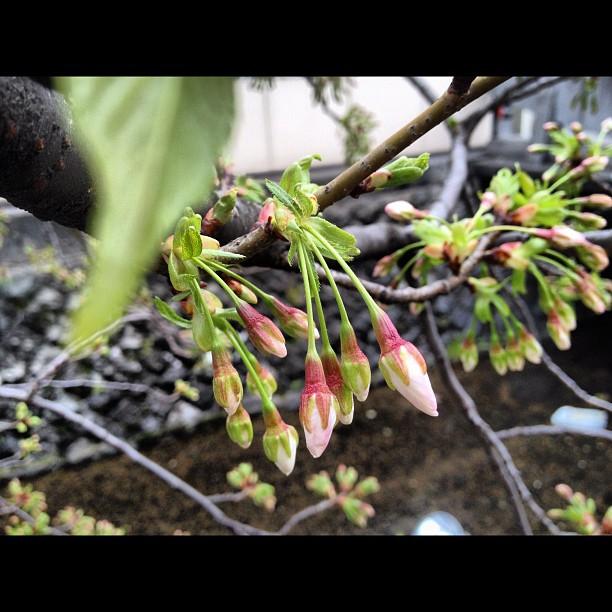 Sakura Report from Kyoto : ça bourgeonne mais faut encore attendre un peu