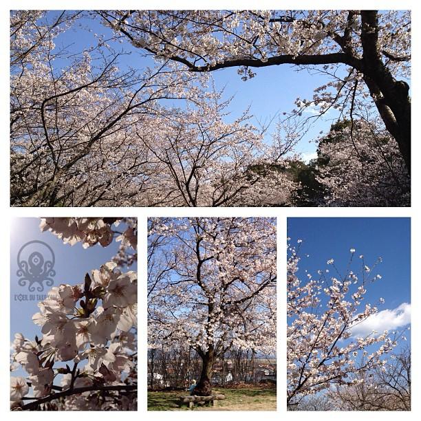 Pré-annonce des articles » Du sakura en veux-tu, du Sakura en voilà (à Hiroshima) (^O^)/