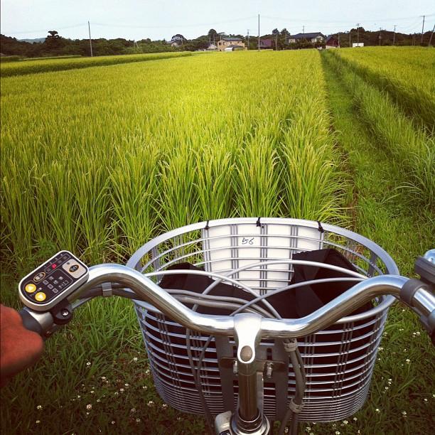 La balade à vélo dans les rizières de Sado a elle des faux airs de Totoro…