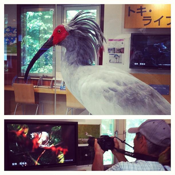 Pour faire des photos de Toki (Ibis Nippon) le mieux est de faire des photos de la vidéo… Les vraie étant dans des cages au loin et très difficile à trouver en pleine nature l'espèce ayant pratiquement disparue…