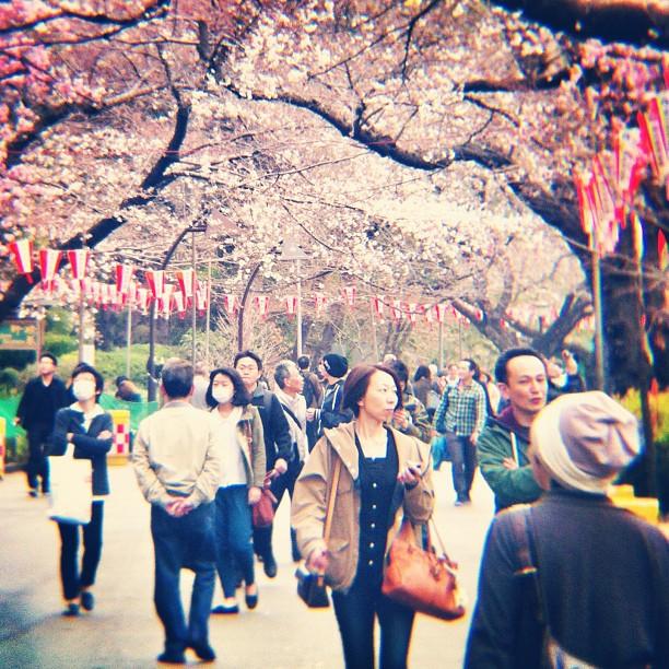 #SakuraReport : après avoir fait un peu le tour de Tokyo, c'est à Ueno que la floraison est la plus avancée !