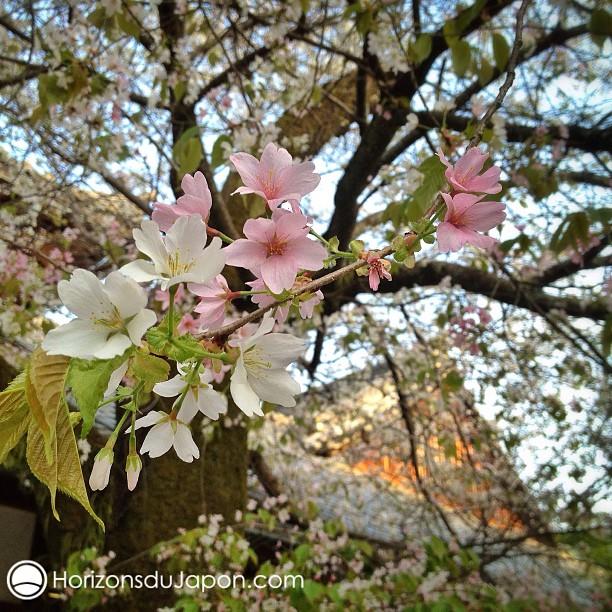 le cerisier rose et blanc japon 365. Black Bedroom Furniture Sets. Home Design Ideas