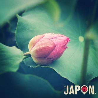 Lotus sous la pluie à Tokyo