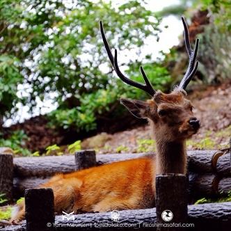 Les daims de Miyajima, c'est autre chose que les veaux de Nara :)