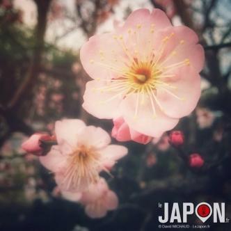 On dirait que le printemps au Japon approche avec ces pruniers en fleur ! Un peu trop en avance...