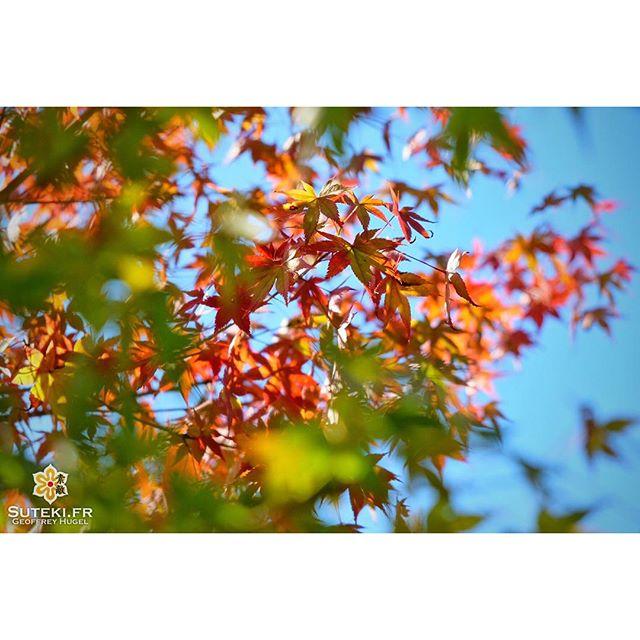 Doucement mais sûrement les couleurs changent. L'automne est bien là ! #japon  #kyoto