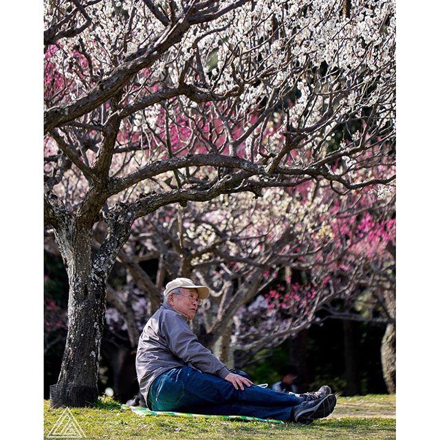Les cerisiers en fleur c'est pour bientôt, mais en attendant on peut parfois encore profiter des pruniers