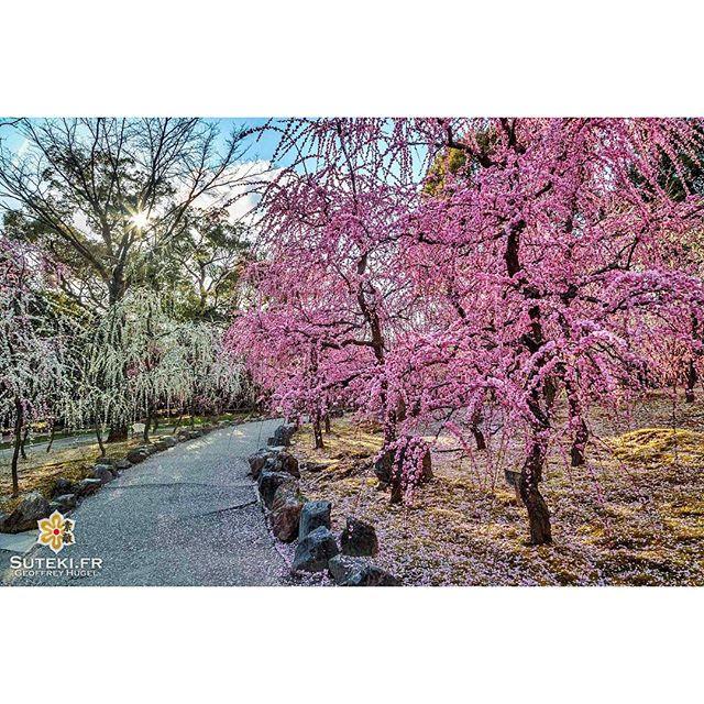 Les pruniers en fleur symbolisent l'arrivée du printemps ! #japon #kyoto