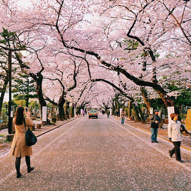 Bye Bye Sakura
