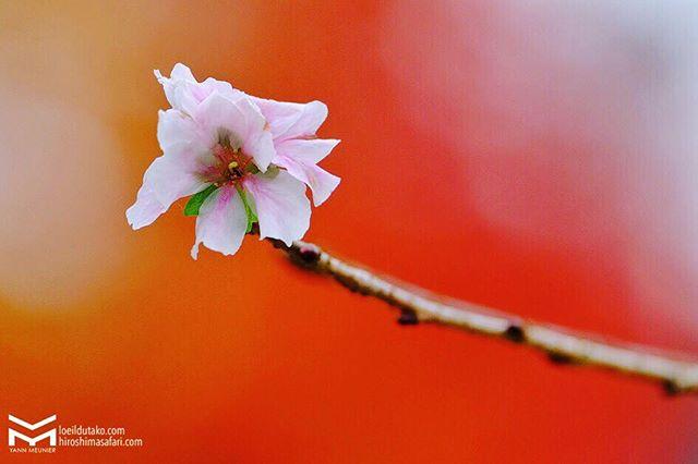 Plaisir rétinien : les cerisiers d'hiver sur fond d'érables.🌸🍁