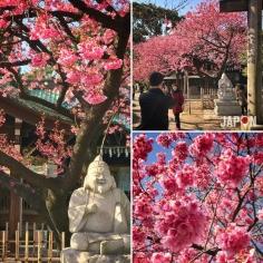 Aujourd'hui c'était le pic de floraison des pruniers à Tokyo ! #Tokyo #TokyoSafari
