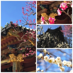 Les pruniers fleurissent à Tokyo ! ☀️🌸☀️🌸☀️🌸