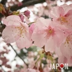 Daiken Sakura sous la pluie hier 🌸 ☔️ #sakura #tokyo