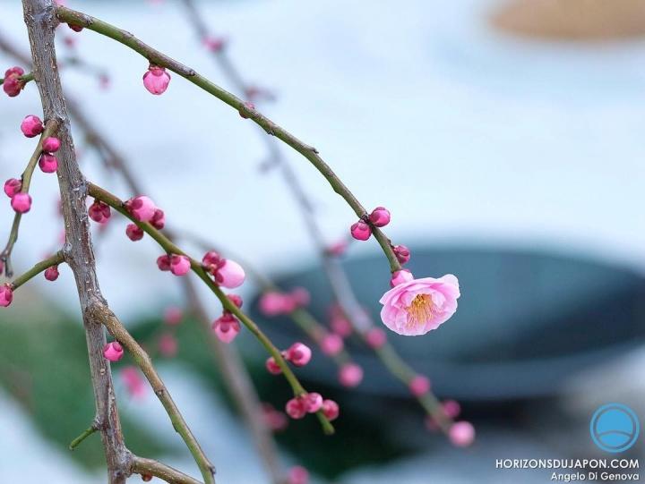 Toujours ému par l'ume #osakasafari #japonsafari