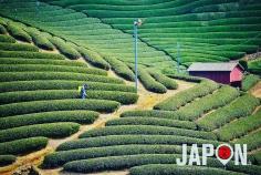 Champs de thé vert à Uji 🍃🍃🍃🍵 #Uji #Kyoto #JapanHeritage