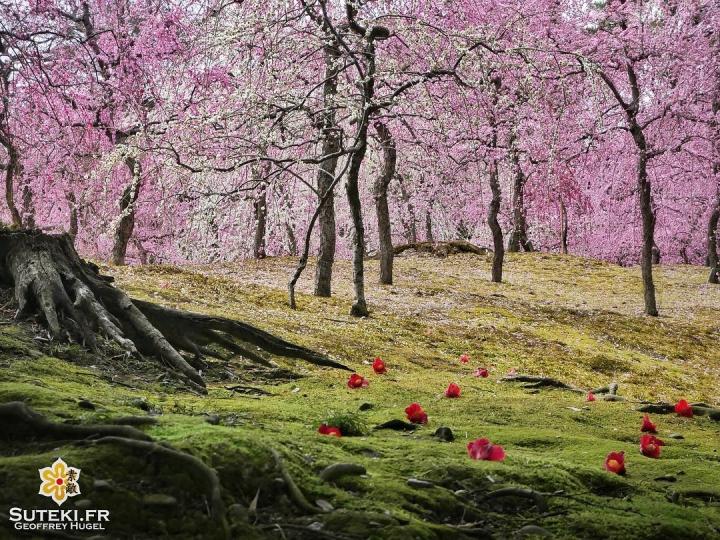 Le printemps est bien là :) #japon #kyoto #kyotosafari