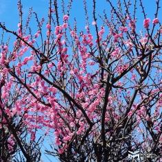Dimanche Hiroshima Safari sous le soleil et les pruniers. Et vous ?