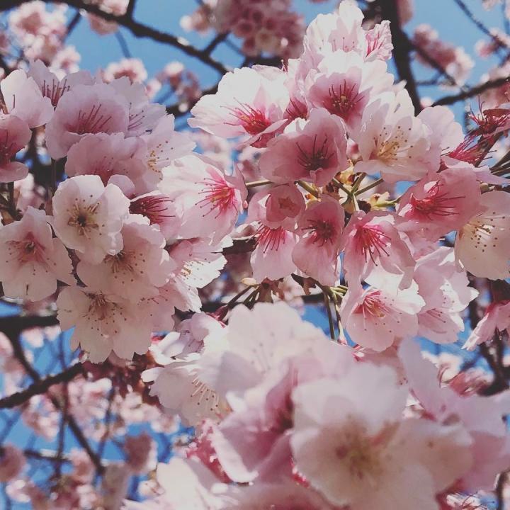 Sakura précoce aujourd'hui au parc Hibiya ! #sakura