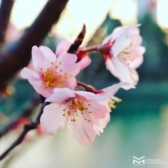Des Sakura qui ont décidé de se pointer en avance.