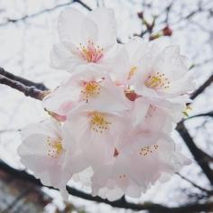 Pluie sur Sakura ! Cette semaine c'est la bonne pour Tokyo 🌸🌸🌸 #SakuraReport