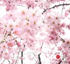 Let's start Tokyo Sakura ! #Sakura 🌸🌞🌸🌞🌸