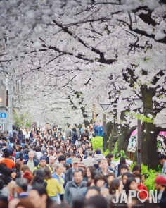 Sakura de Nakameguro 🌸🌸🌸 #nakameguro #sakura #Tokyo