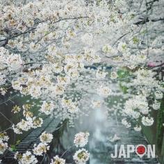 Nakameguro Sakura 🌸🌸🌸 #nakameguro #sakura #Tokyo