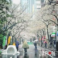 Il pleut il mouille… c'est la fin des Sakura… #Sakura #Tokyo