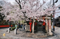 Les sakura de Gion #japon #kyoto