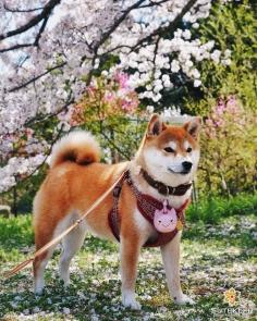 Sakura-inu #japon #kyoto #kyotosafari