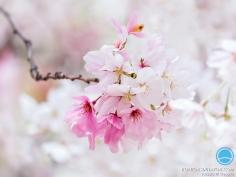 Allez encore une, rose et blanche cette fois-ci #sakura #osakasafari
