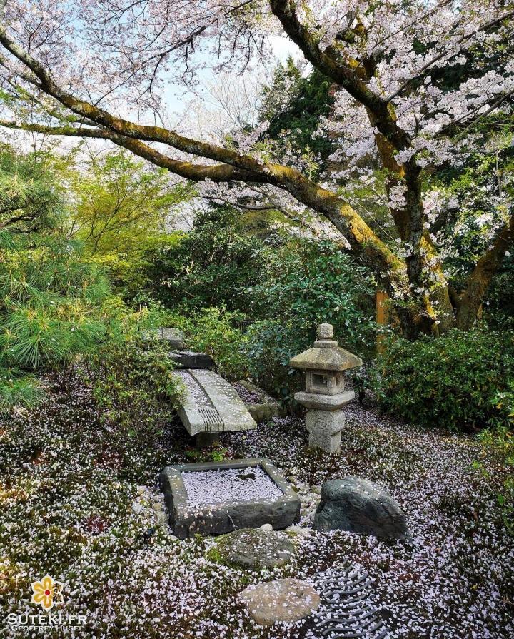 Les cerisiers soignent leur sortie #japon #kyoto #kyotosafari