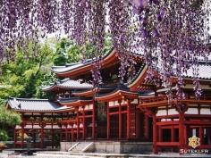 Pas toujours évident de composer avec les glycines #japon #kyoto #kyotosafari