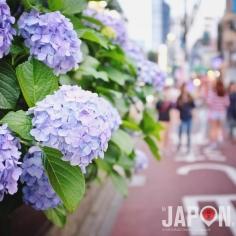 Magnifiques hortensia de Juin dans le quartier de Shinjuku ! Saison des pluies sans pluie… 🌧🙅🏻 #Tokyo #tokyosafari
