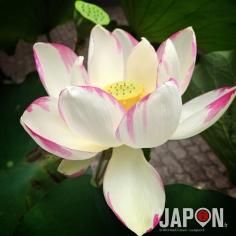 Lotus urbain tokyoïte ! 😃 #Tokyo #Lotus