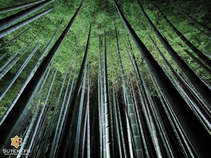 Bambous de nuit #japon #kyoto #kyotosafari