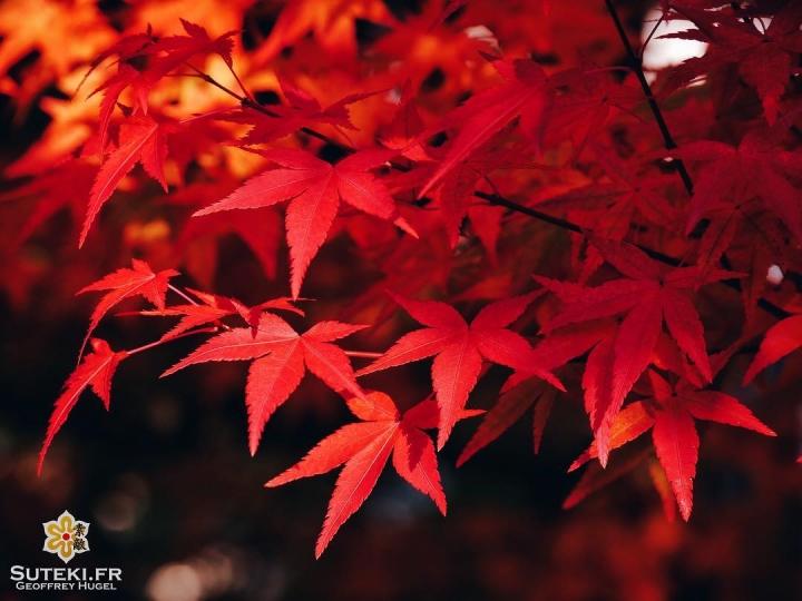 Le rouge momiji #japon #kyoto