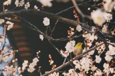 Les premiers Mejiro sont de sortie au Zōjō-ji et parcourent les branches des Sakura précoces