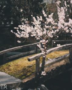 Les derniers pruniers en fleurs vont laisser places d'ici une dizaine de jours aux célèbres cerisiers japonais