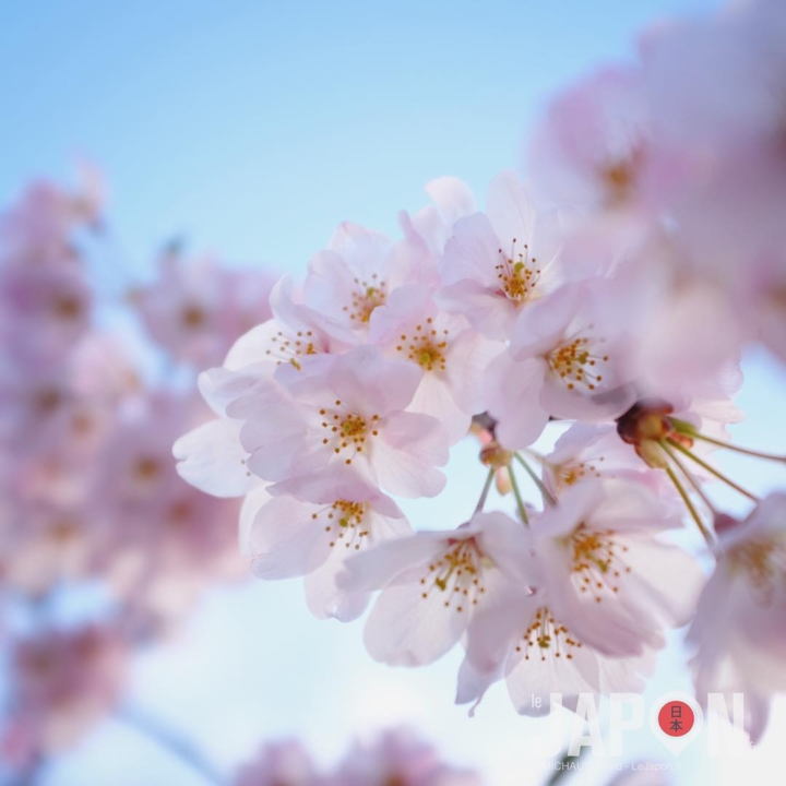 Sakura du jour devant le Théâtre National de Tokyo ! #Sakura #Tokyo #Japan #TokyoSafari