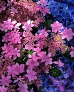 La floraison des hortensias annonce l'arrivée imminente de la saison des pluies #osakasafari #japonsafari
