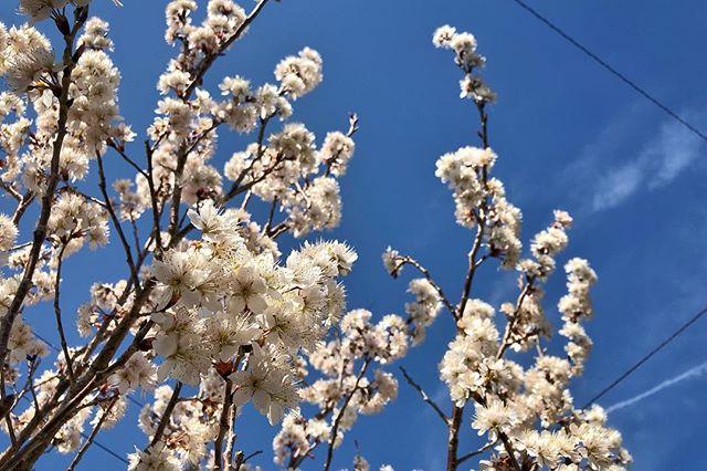 Mankai de cerisier à fruit sous le ciel bleu et ses fils électriques. On est bien au Japon :)