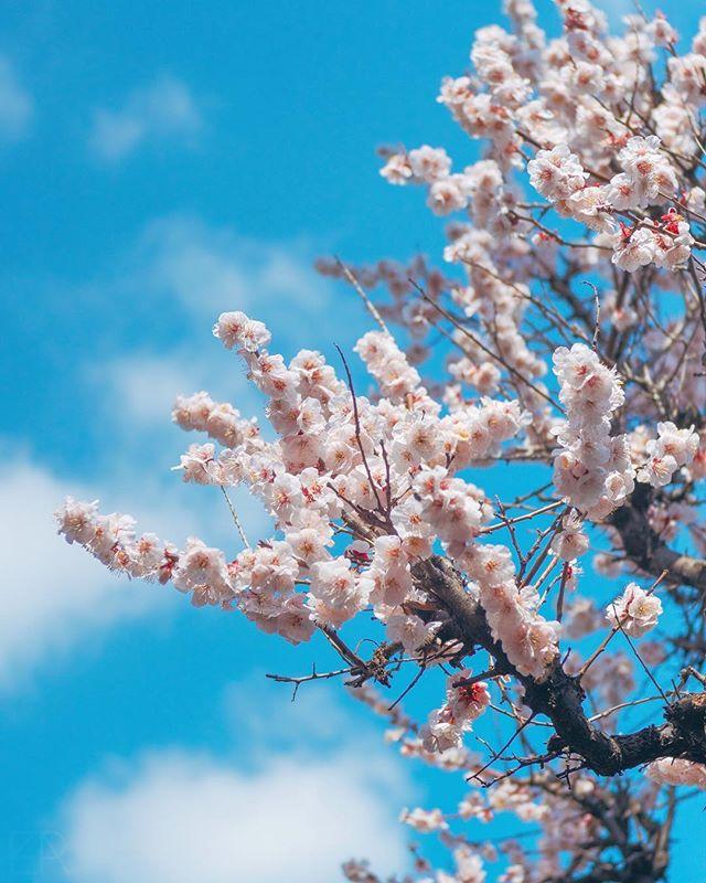 Les pruniers viennent de finir leur pleine floraison, ce qui laisse présager l'arrivée prochaine des fleurs de cerisiers japonais.