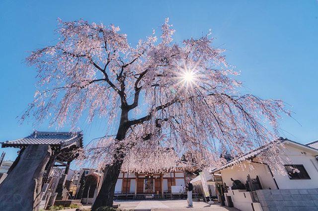 """Alors que les cerisiers japonais """"kanzan"""" sont en pleine floraison, les """"shidare-zakura"""" vont bientôt pleurer leurs pétales"""