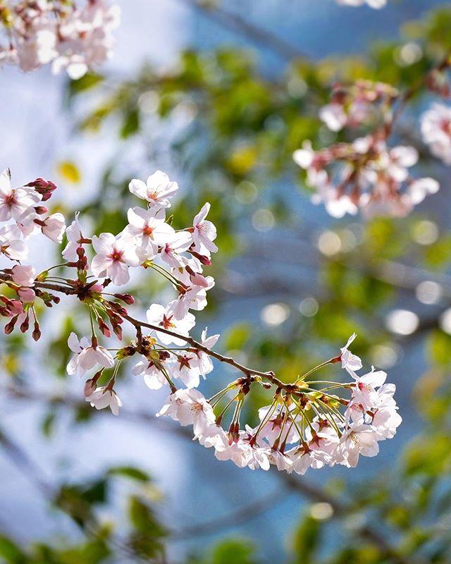 Ça commence à devenir intéressant :) Il a fait froid ces derniers jours, ça a ralenti la floraison. Mais la douceur revient pour la fin de semaine. #osakasafari #japonsafari #sakura #fujifilm #fujixt1